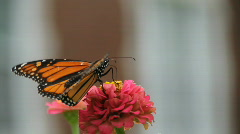 Monarch butterfly eating Stock Footage