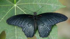 Butterfly, black on black Stock Footage