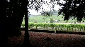 Redwoods near a vineyard Footage