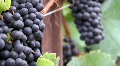 Ripe Wine Grape Vine Footage