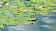 Stock Video Footage of Water lily leaves