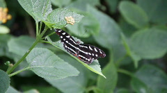 Butterfly, wing spread Stock Footage