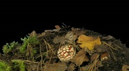 Time-lapse of growing fly agaric mushromm 5 Stock Footage