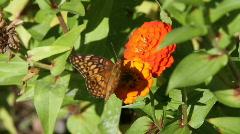 Wild butterflies Stock Footage