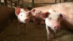Piglets sniffing camera Stock Footage