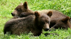 TWO BEAR CUBS Stock Footage