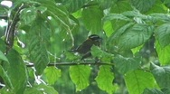 Stock Video Footage of Small bird in tree during rain storm