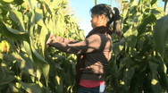Stock Video Footage of Asian girl picking mature corn