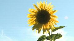 Sunflower,Helianthus annuus Stock Footage
