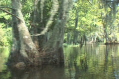 Cypress Swamp Tree Stock Footage