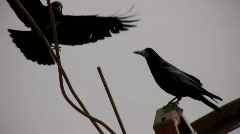Crows - stock footage