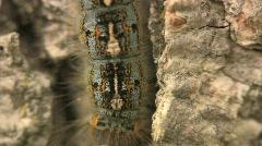 Tent worm caterpillar climbing Stock Footage