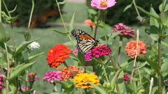 Butterfly monarch Stock Footage