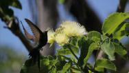 Hummingbird 4 Stock Footage