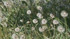 dandelion - stock footage