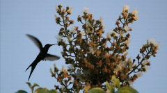 Hummingbird 5 Stock Footage
