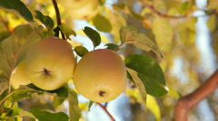 Two Apples on a Branch - stock footage