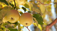 Stock Video Footage of Two Apples on a Branch