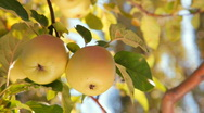 Stock Video Footage of two apples on tree