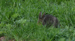 The hare eats a grass - stock footage