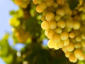 Stock Video Footage of bunch of White wine grape