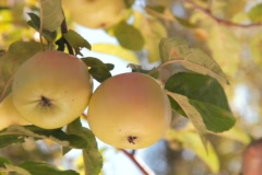Picking apples from branch Stock Footage