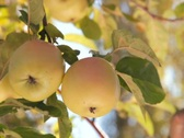 Stock Video Footage of Picking apples from branch