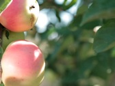 Stock Video Footage of two red apples