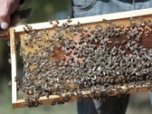 Stock Video Footage of Bees inside beehive