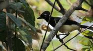 Blue head bird. Brazilian Bird. Cerrado biome.  Stock Footage