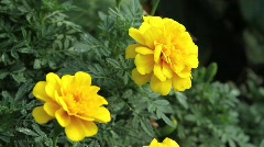 Yellow Flowers with butterfly Stock Footage