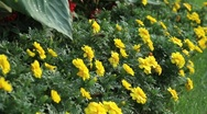 Yellow Flowers with butterfly (wide) Stock Footage