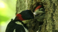 Stock Video Footage of Woodpecker, baby birds