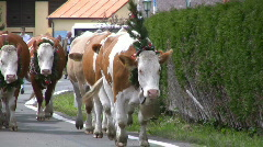 Cattle drive down from Alps, Austria - stock footage
