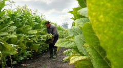Farmer harvested tobacco in the field Stock Footage