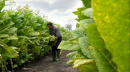 Stock Video Footage of Farmer harvested tobacco in the field