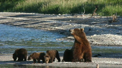 Stock Video Footage of She-bear and bear cubs.