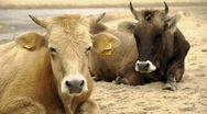 Dairy cows (Bos taurus) resting on beach Stock Footage