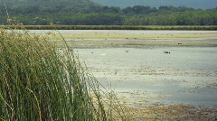 Reeds on lake with ducks Stock Footage