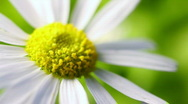 Daisy and wind Stock Footage