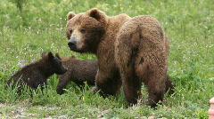 She-bear and bear cubs. Stock Footage