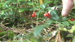Picking Lingonberry in the forest during autumn Stock Footage