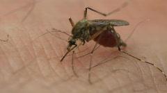 Mosquito, close up, sucks blood Stock Footage