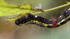 Amazonian geometrid caterpillar feeding Stock Footage