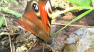 Europe butterfly Stock Footage