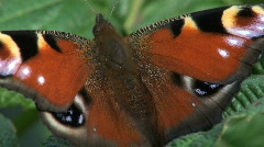 europe butterfly - stock footage
