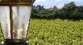 Vineyard Lantern HD Footage