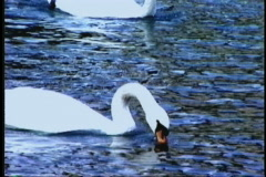 1512 swans swimming Stock Footage