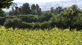 Vineyards Pan Footage