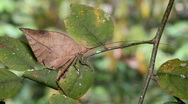 Stock Video Footage of Leaf mimic katydid